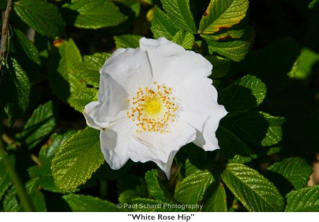 063  White Rose Hip.jpg