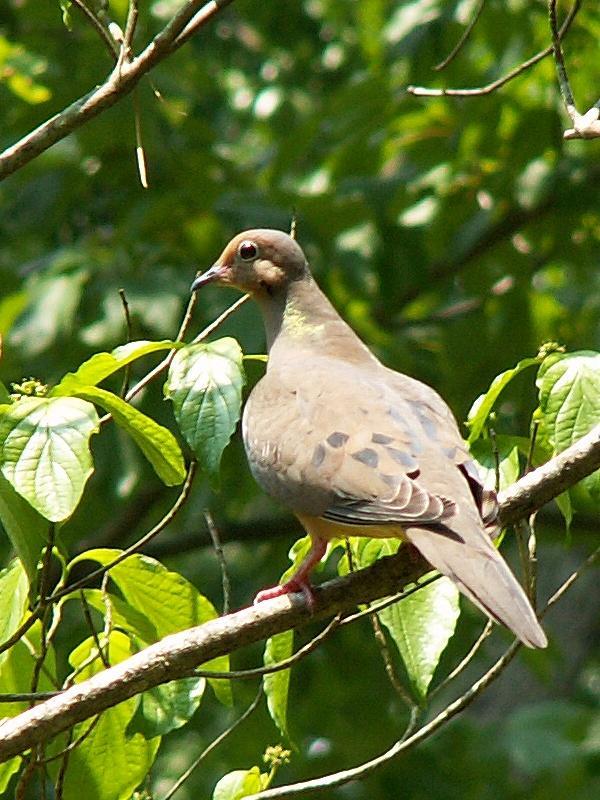 Mourning Dove <i>Zenaida macroura</i>