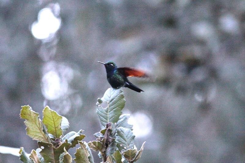 Garnet-throated Hummingbird