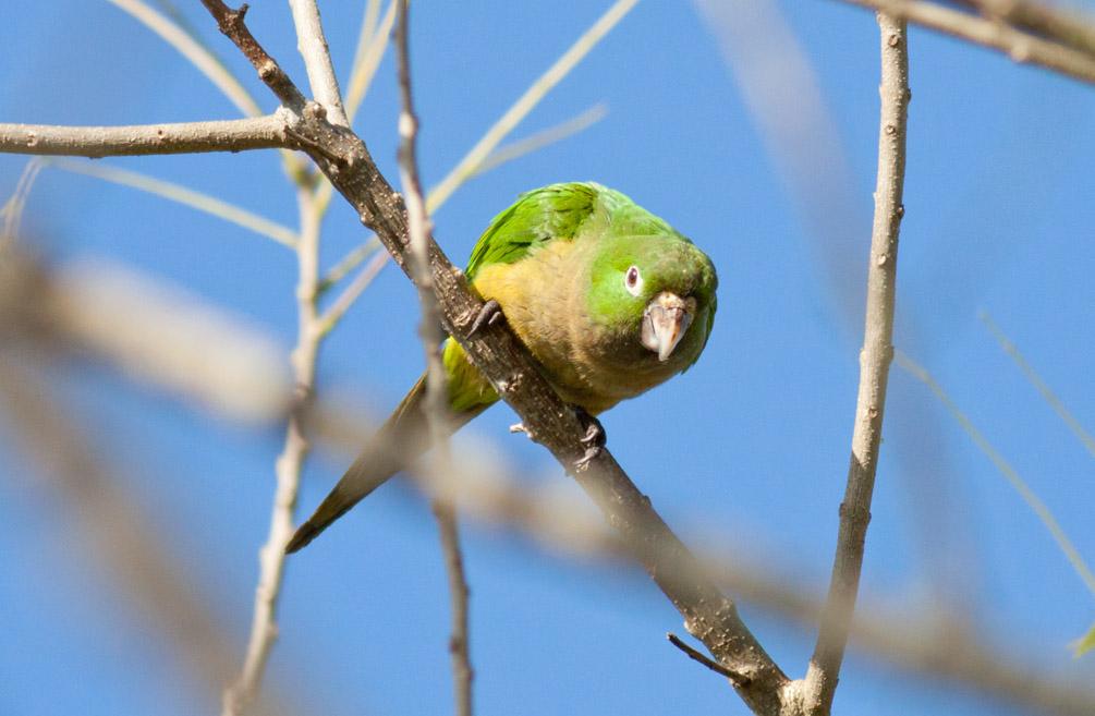 Olive-throated (Aztec) Parakeet