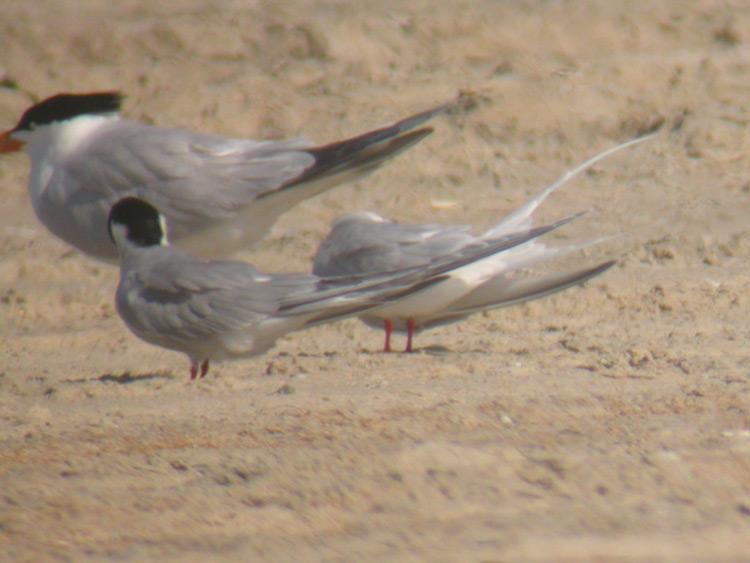 Roseate Tern tail