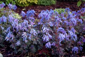 Corydalis Purple Leaf