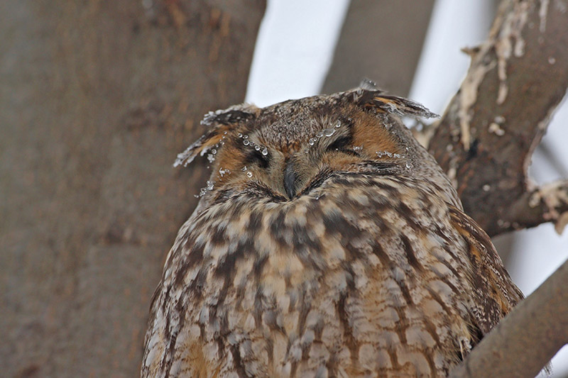 Long-eared owl Asio otus mala uharica_MG_4980-11.jpg