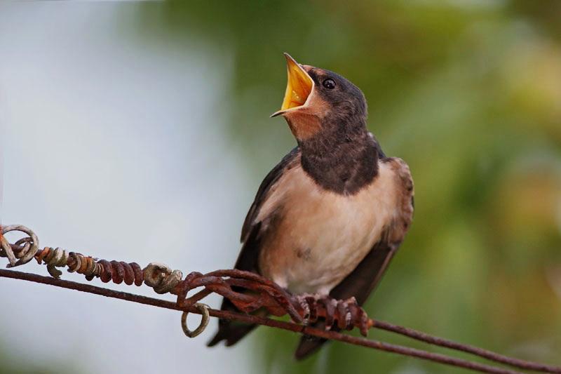 Hungy swallow lačna lastovka_MG_3764-11.jpg