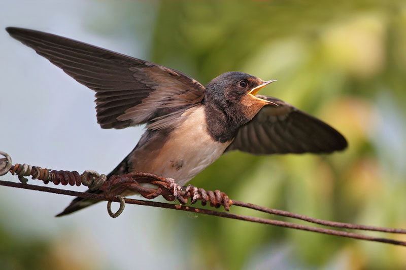 Young swallow mlada lastovka_MG_3772-11.jpg