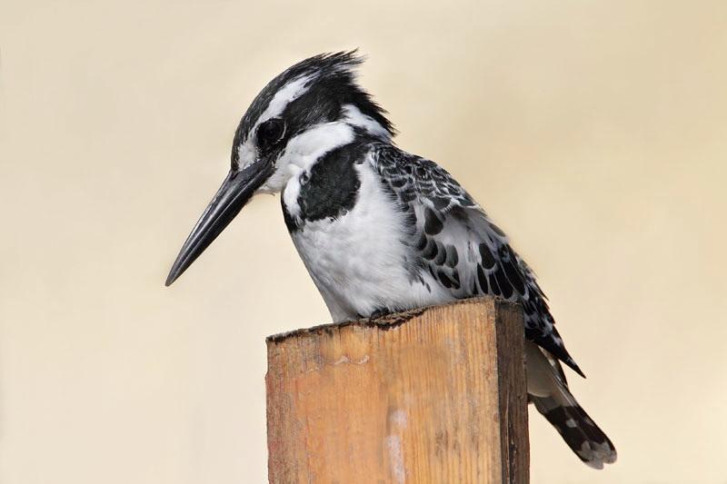 Pied kingfisher Ceryle rudis črnobeli pasat_MG_7424-11.jpg