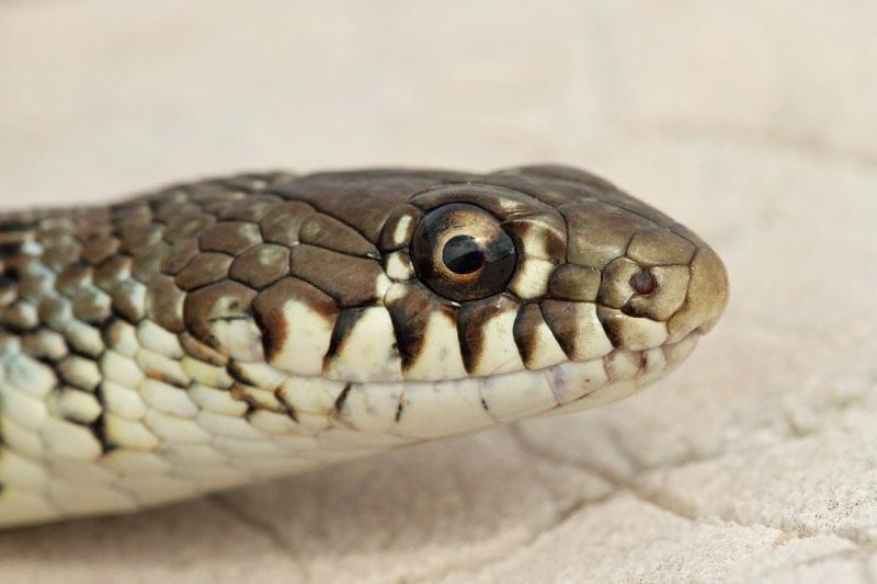 Balkan whip snake Hierophis gemonensis belica_MG_1934-11.jpg