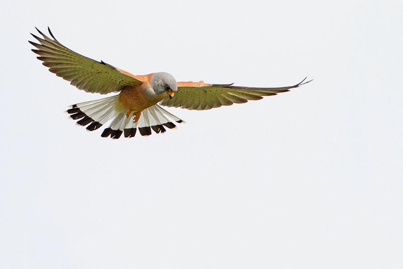 Lesser kestrel Falco naumanni južna postovka_MG_0090-11.jpg