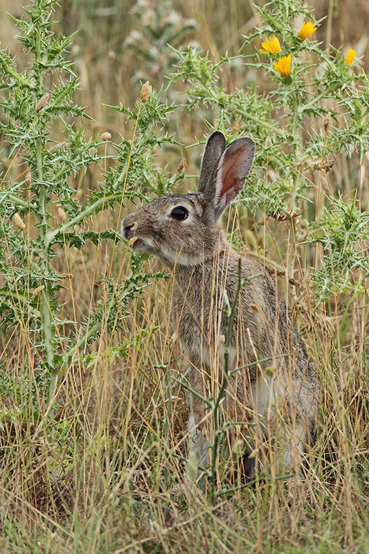 Common rabbit Oryctolagus cuniculus kunec_MG_1140-11.jpg