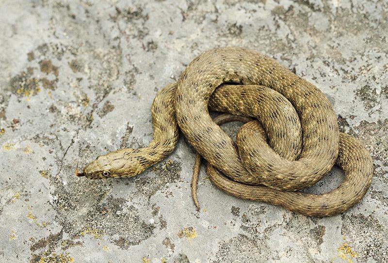 Dice snake Natrix tessellata kobranka_MG_9801-11.jpg