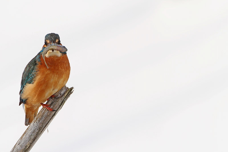 Kingfisher Alcedo athis vodomec_MG_9704-11.jpg