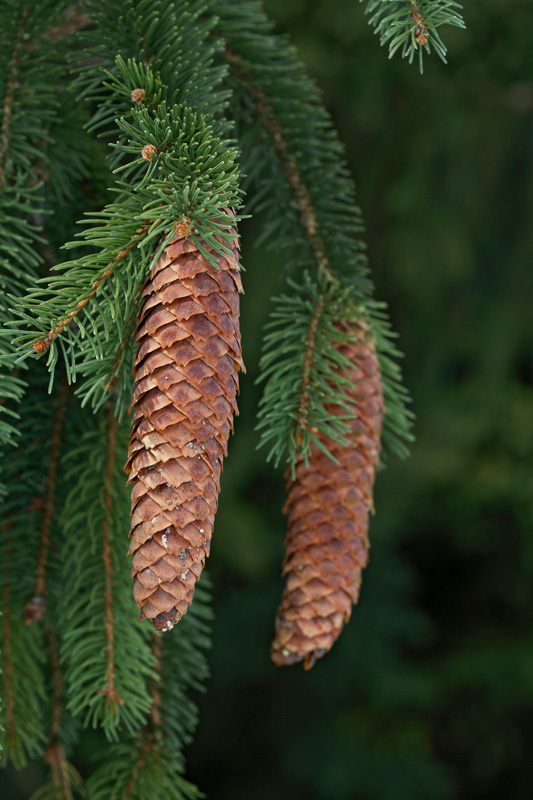Norway spruce Picea abies smreka_MG_0029-1.jpg