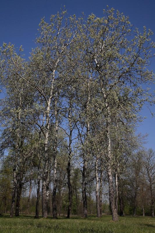 White poplar Populus alba beli topol_MG_2353-1.jpg
