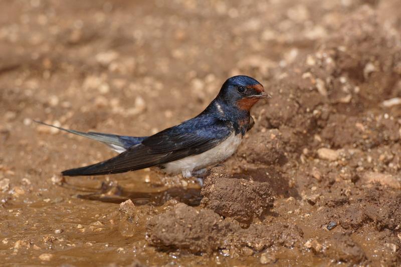Barn swallow Hirundo rustica kmečka lastovka_MG_5062-1.jpg