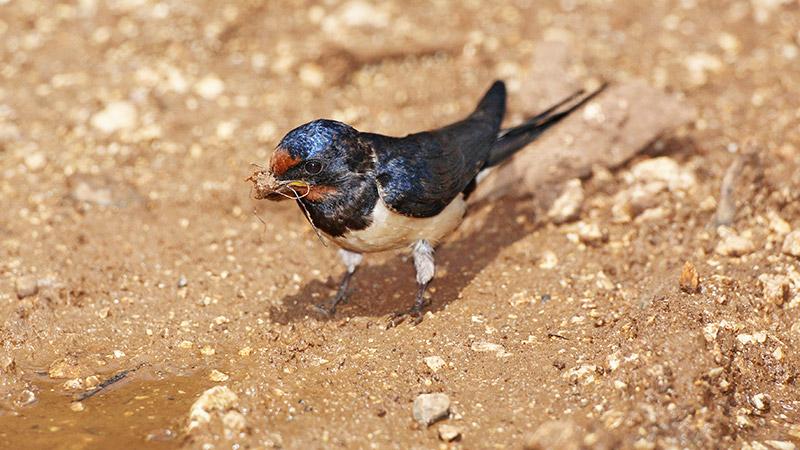 Barn swallow Hirundo rustica kmečka lastovka_MG_5039-1.jpg