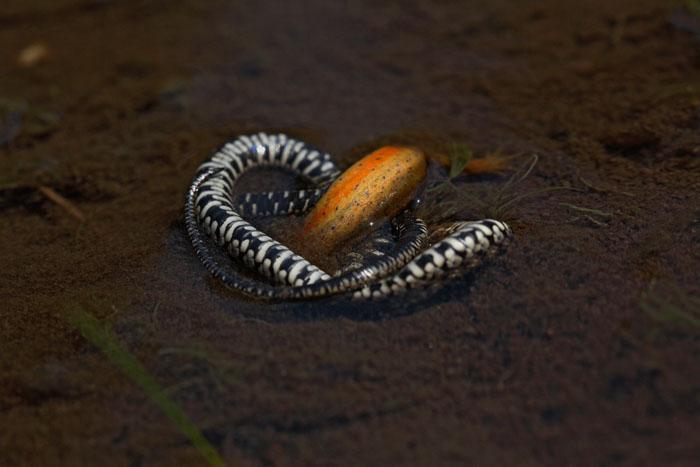 Grass snake with prey (newt) belou¹ka_MG_5994-1.jpg