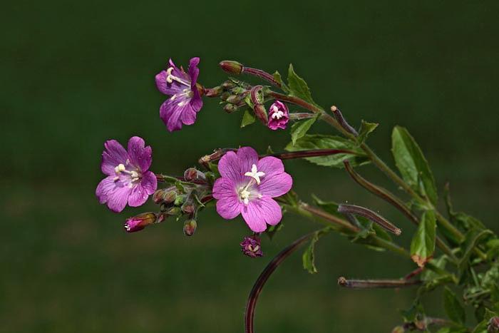 Small flowered willow-herb  Epilobium parviflorum drobnocvetni vrbovec_MG_0078-1.jpg