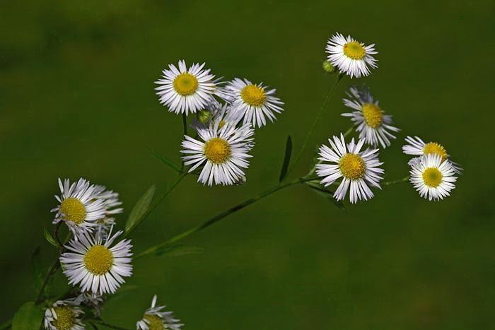 Eastern daisy fleabane Erigeron annuus enoletna suholetnica_MG_3659-1.jpg