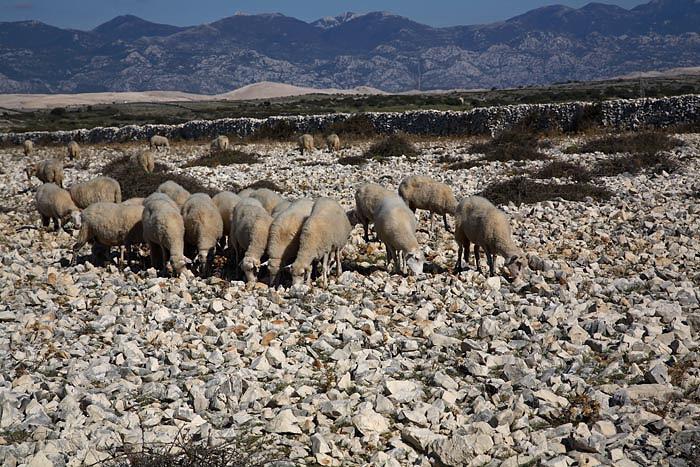 Sheep ovce_MG_4849-1.jpg