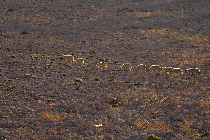 Sheep ovce_MG_5143-1.jpg
