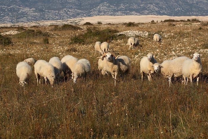 Sheep ovce_MG_4920-1.jpg