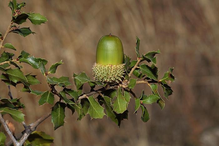 Kermes oak Quercus coccifera_MG_5717-1.jpg