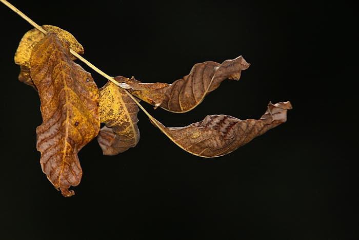 Nut leaf orehov list_MG_6775-1.jpg