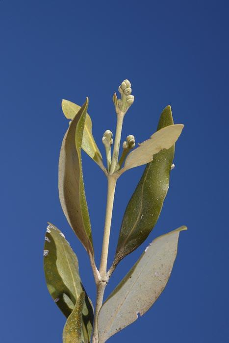 Grey mangrove  Avicennia marina mangrova_MG_5017-1.jpg