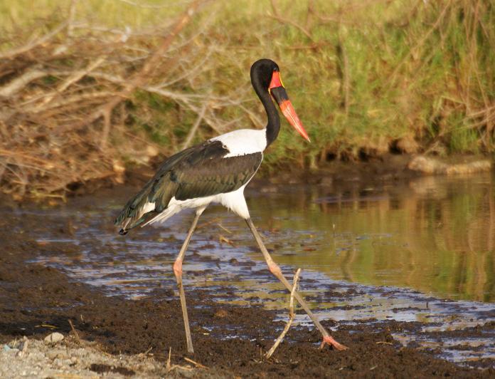 46. Saddle-billed Stork 2 Wenney (18 Apr 09).jpg
