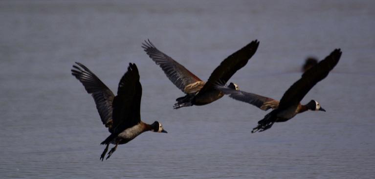 59. White-faced Whistling-Duck 3 Asendabo Jimma (9 Apr 09).jpg