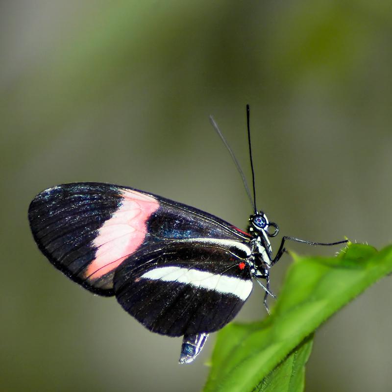 Black butterfly, Buckfast (2344)
