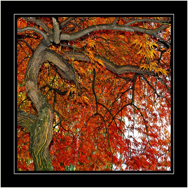 Red acer, Montreux