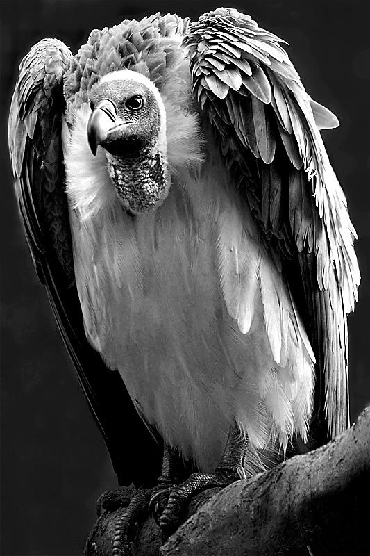 Vulture stare!