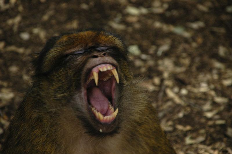 Les singes de lAtlas