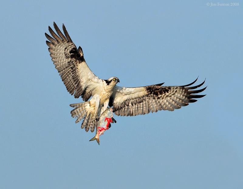 Male Osprey With Prey