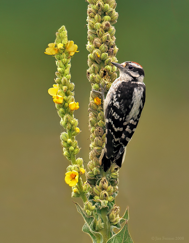 Downy Woodpecker on Common Mullen