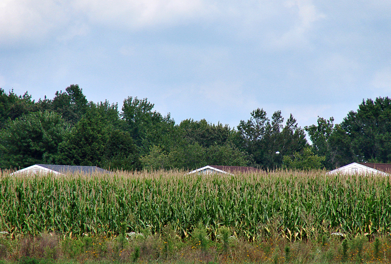 Eastern Shore cornfield