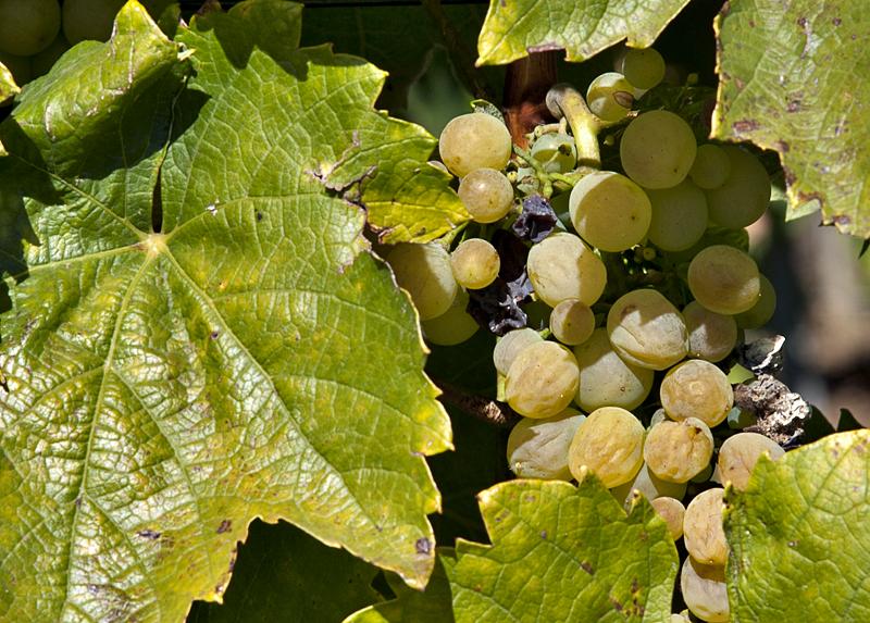 Tokaj grapes ready for harvest