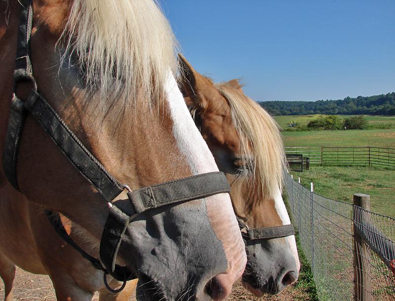 Biltmore farm: Bert and Ernie