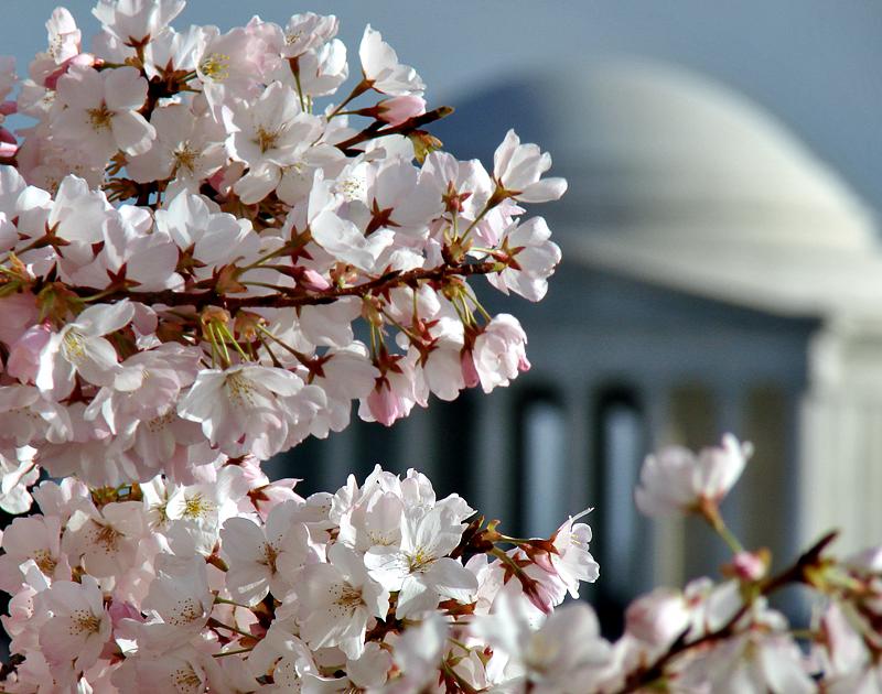 Cherry blossoms, Jefferson Memorial