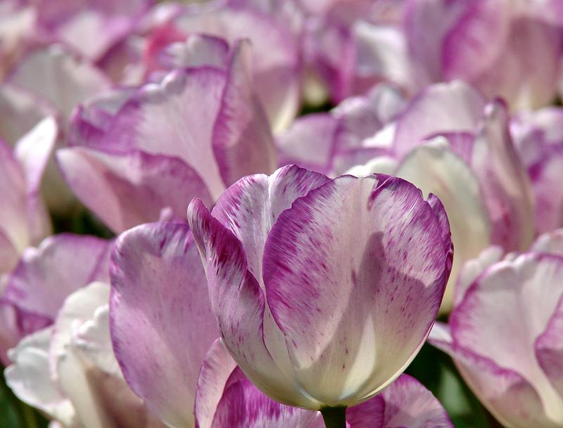Washington, city of tulips