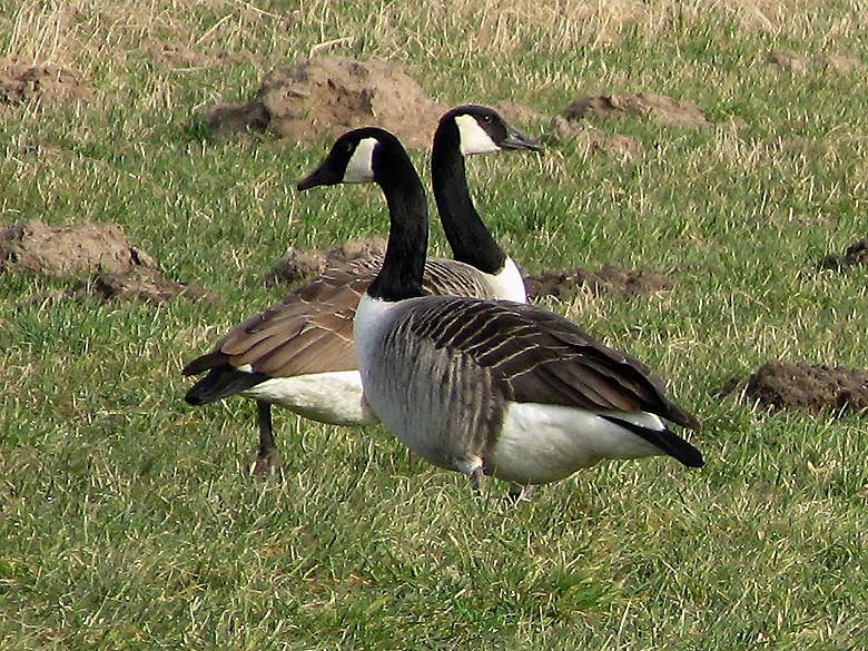 Canada Geese - Branta canadensis.jpg