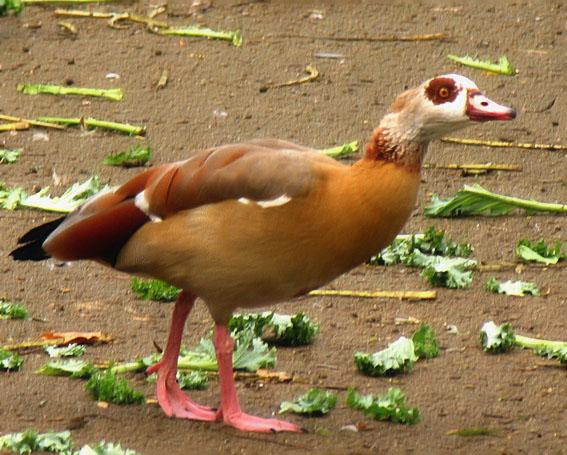 Egyptian Goose - Alopochen aegyptiacus.jpg