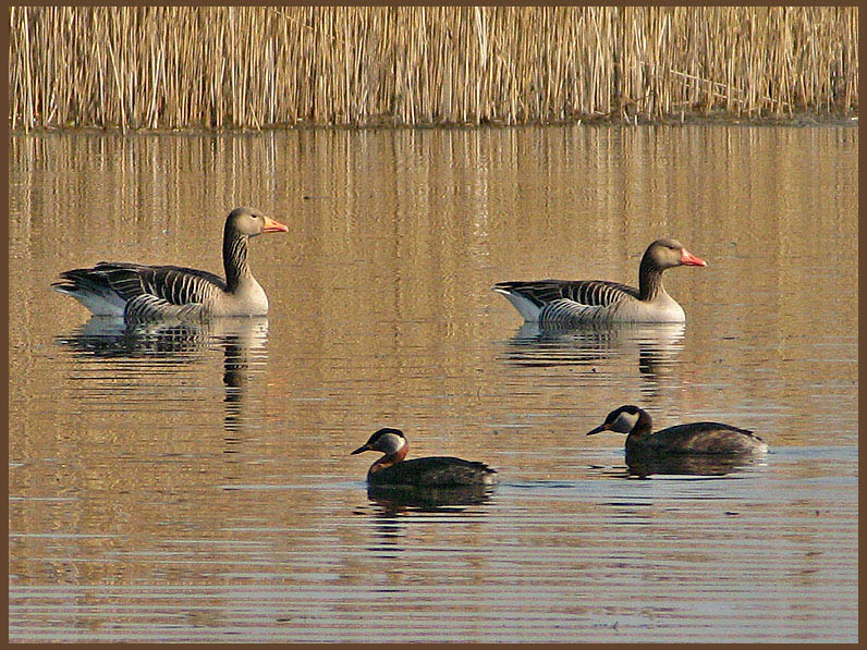 Greylag Geese and Black-necked Grebejpg