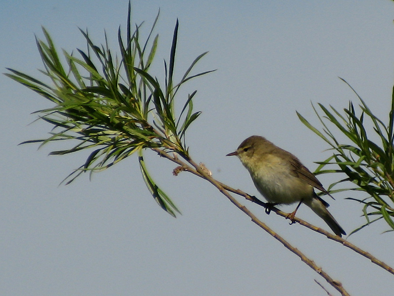 Willow Warbler - Phylloscopus trochilus - Lövsångare.jpg
