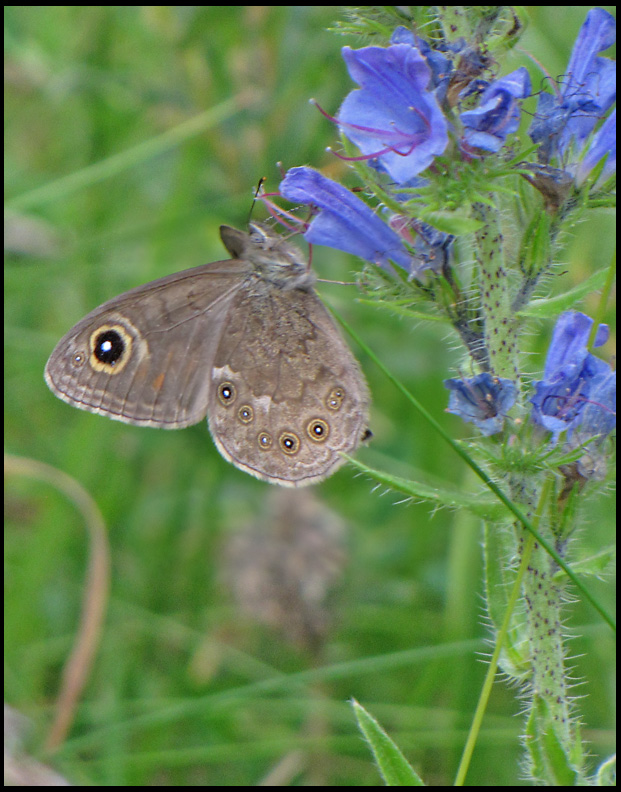 Large Wall Brown - Lasiommata maera - Vitgräsfjäril.jpg