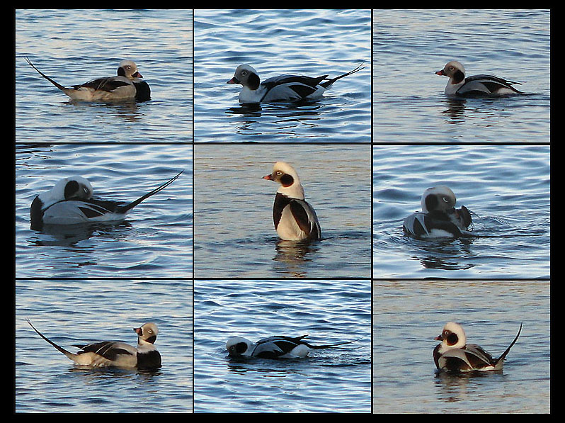 Long-tailed Duck - Anas acuta - Alfågel.jpg