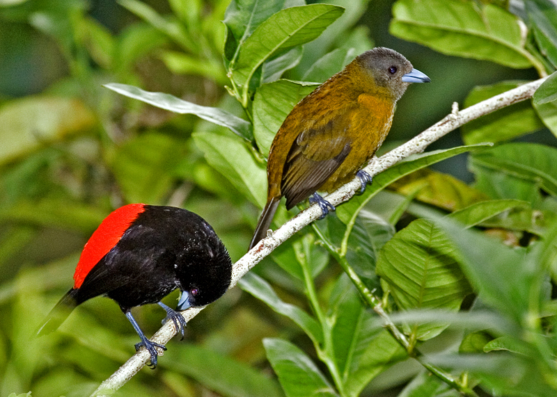 Passerini Tanager (male and female)