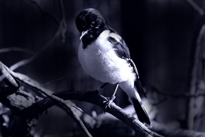 hooded robin
