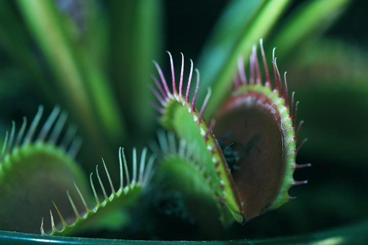 Venus flytrap (1 of 4)